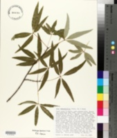Image of Acer pentaphyllum