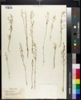 Image of Bartonia lanceolata
