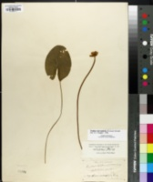 Nuphar microphylla image