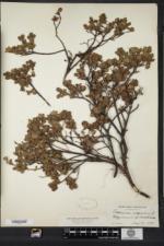 Vaccinium uliginosum image