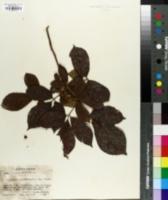 Allophylus occidentalis image