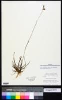 Juncus marginatus var. marginatus image