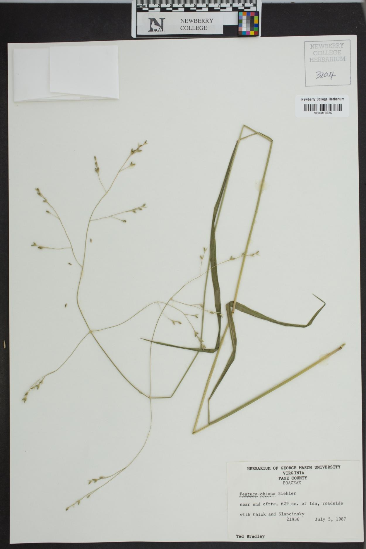 Festuca obtusa image