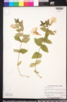 Image of Thunbergia natalensis