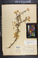 Image of Bumelia celastrina