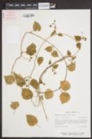 Image of Matelea reticulata
