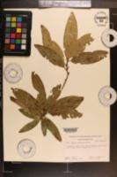 Quercus imbricaria image