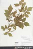 Serjania goniocarpa image