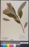 Daphniphyllum teijsmannii image