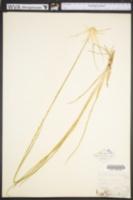 Rhynchospora latifolia image