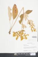 Image of Fagopyrum tataricum