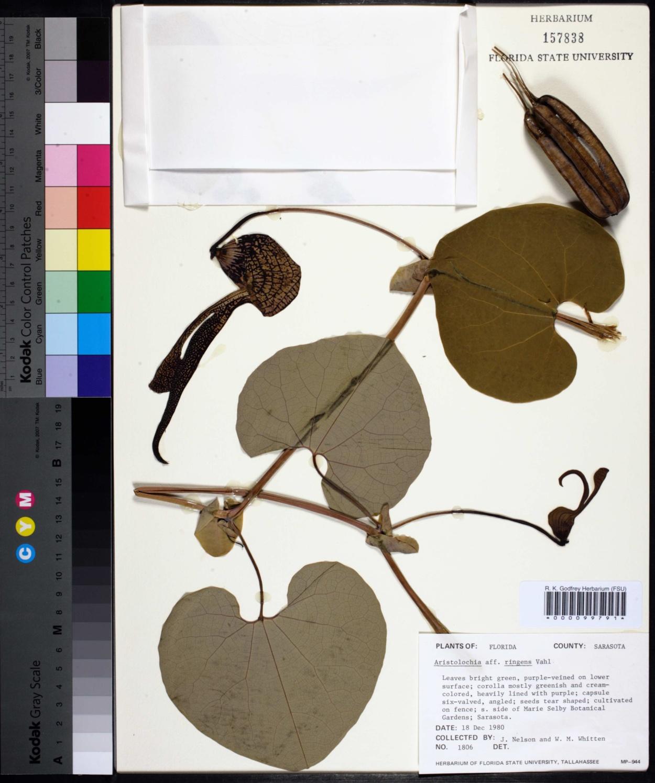 Aristolochia ringens image