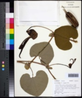 Image of Aristolochia ringens