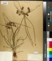 Image of Cyperus baldwinii