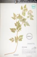 Thaspium barbinode image