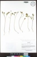 Acmispon denticulatus image