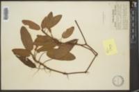 Polygonum amphibium var. stipulaceum image