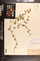 Image of Cynanchum northropiae
