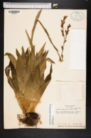 Image of Catopsis berteroniana