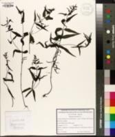 Melampyrum pratense image