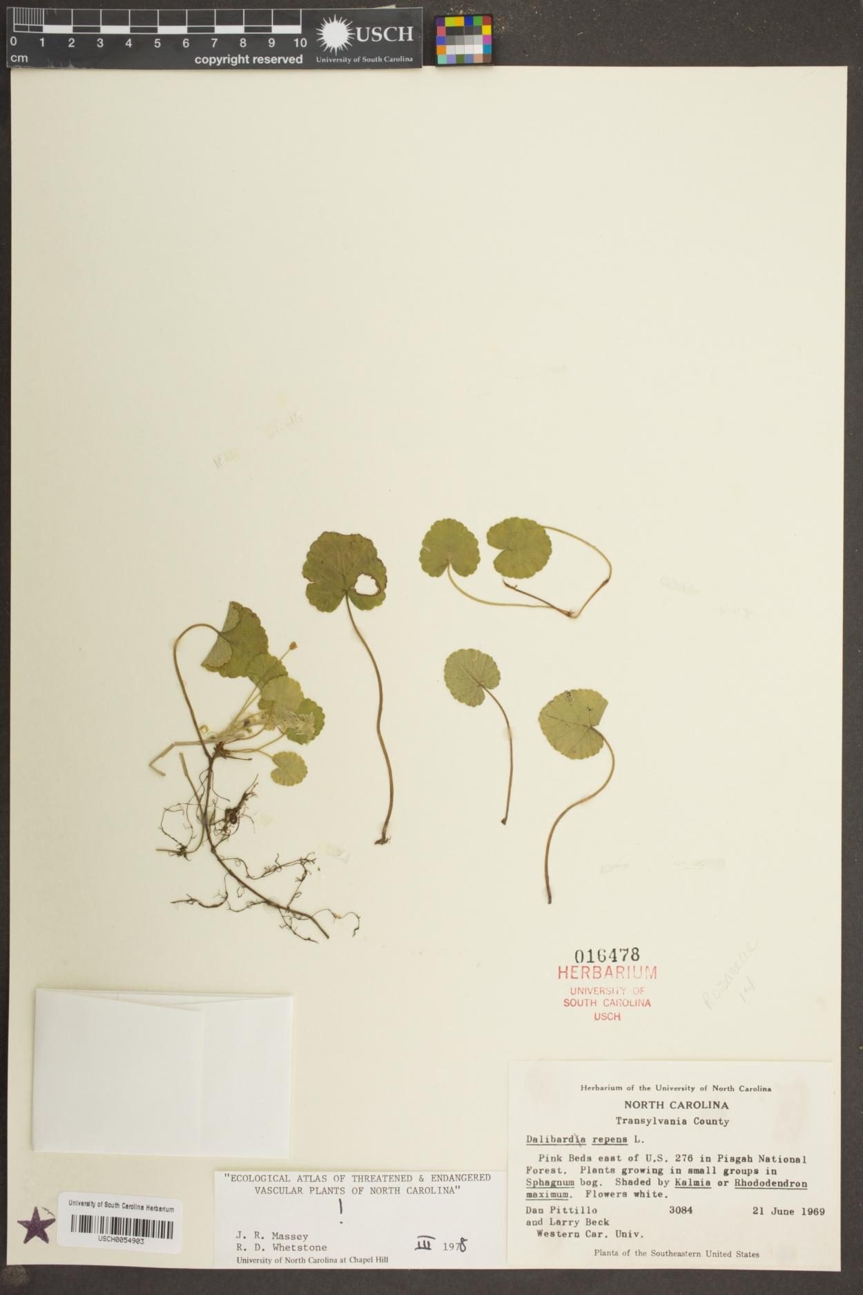 Rubus repens image
