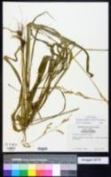 Diarrhena obovata image