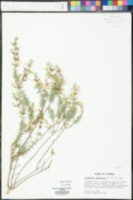 Conradina canescens image