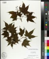 Image of Acer elegantulum