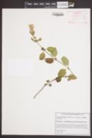 Scutellaria elliptica image