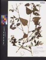 Celosia nitida image