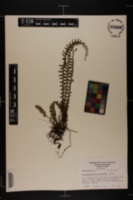 Asplenium platyneuron image