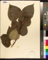 Populus heterophylla image