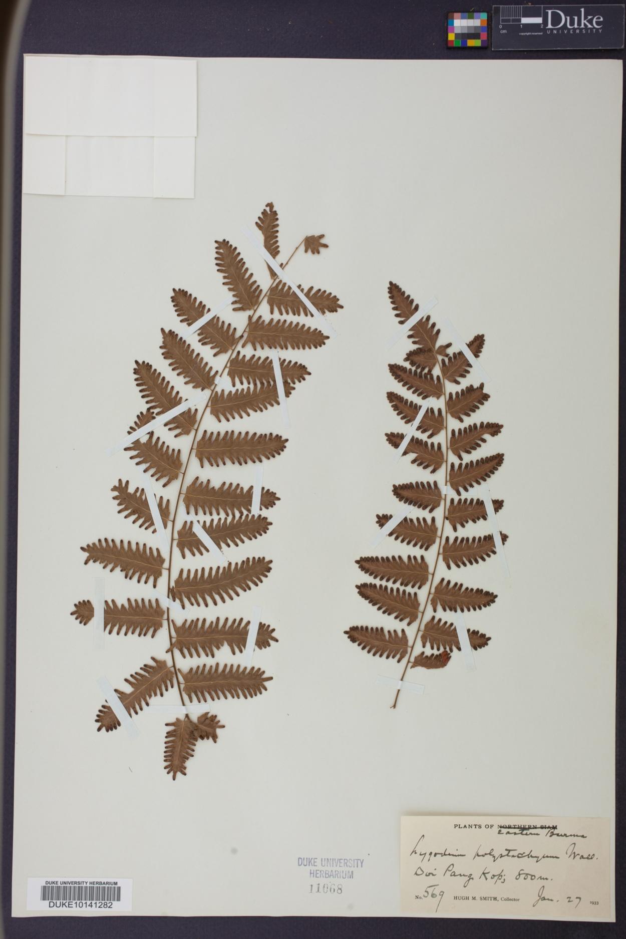 Lygodium polystachyum image