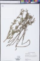 Verbena xutha image