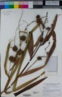 Sparganium eurycarpum image