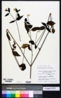 Alternanthera flavescens image