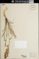 Image of Oxytropis involuta