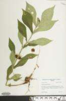 Image of Triosteum angustifolium