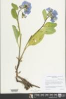 Mertensia virginica image