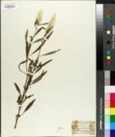 Image of Celosia spicata
