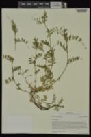 Vicia sativa subsp. nigra image