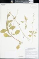 Oenothera kunthiana image