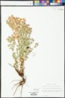 Hypericum tetrapetalum image