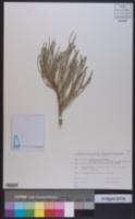 Ephedra equisetina image