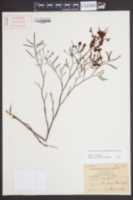Image of Polygonella robusta