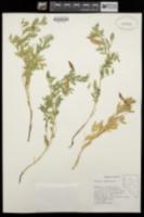 Lathyrus rigidus image