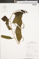 Phthirusa pyrifolia image