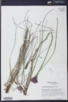Carphephorus pseudoliatris image