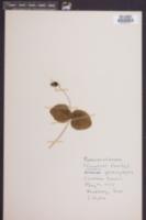Clematis glaucophylla image