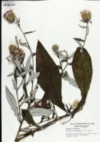 Cirsium altissimum image